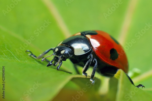 Ladybug on leaf grass.