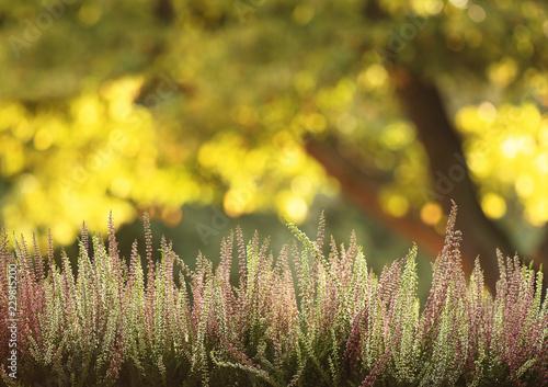 Heather flowers growing on meadow