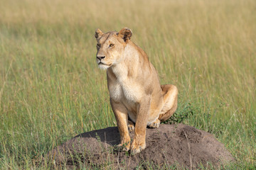 Lioness on a hill