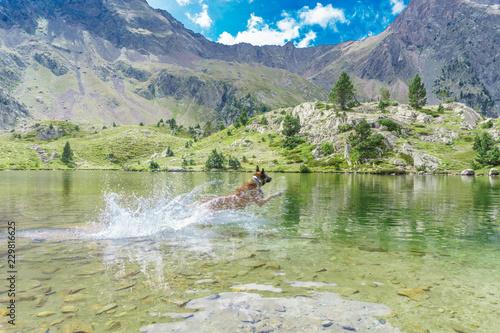 Fotografía  portrait of a jumping purebred belgian shepherd malinois on water nature