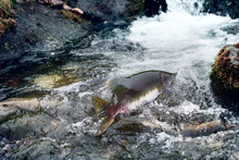 Rush Of Salmon To Spawning Grounds
