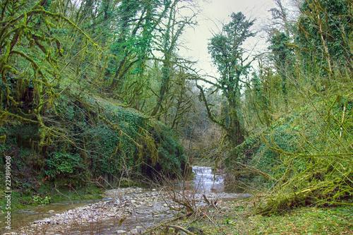 Fotografie, Obraz  Famous Boxwood Colchis (Buxus colchica) subtropical evergreen covered Neckera mo