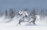 Szary koń arabski galopujący podczas śnieżycy. - 229819603