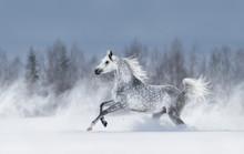 Grey Arabian Horse Galloping D...