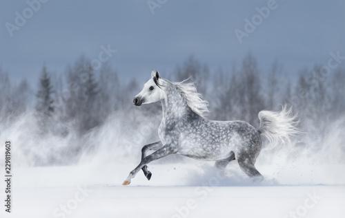 Obraz na plátně Grey arabian horse galloping during snowstorm.