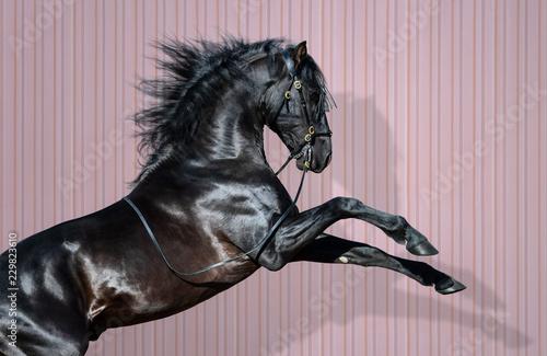 Fototapeta Black Pura Spanish Horse rearing on striped background. obraz