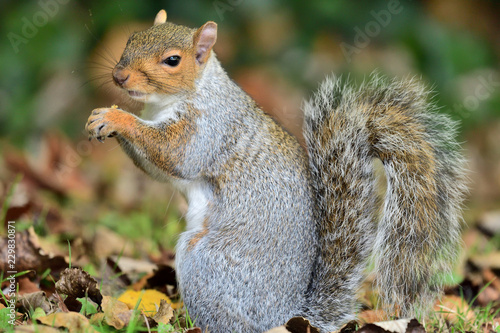 Spoed Foto op Canvas Eekhoorn Side view of an eastern grey squirrel (sciurus carolinensis) eating a nut