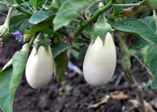 In The Soil, White Eggplant Grows