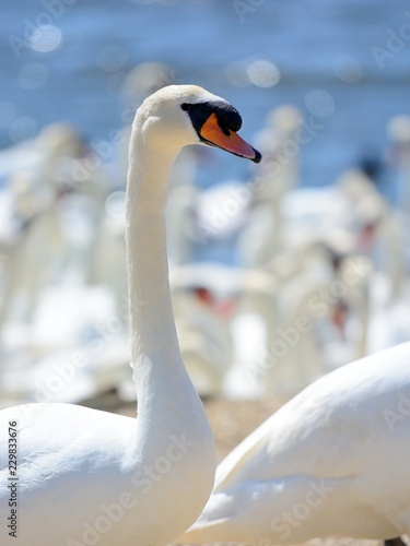 Head shot of a mute swan (cygnus olor) in a swannery