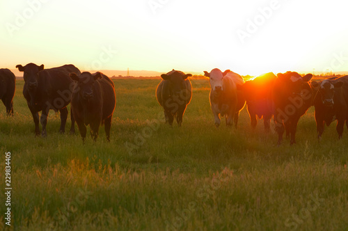 Canvas AERIAL: Flying towards a herd of cows roaming around a vast meadow at sunset