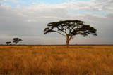 Fototapeta Sawanna - Acacia trees and the African Savannah