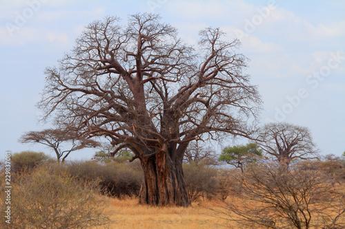 African Baobab Tree (Adansonia digitata)