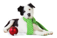 Border Collie Puppy In Green Christmas Scarf