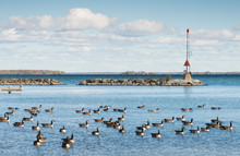Canada Geese At The Southern S...
