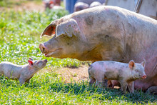 A Baby Piglet Looks To His Sow...