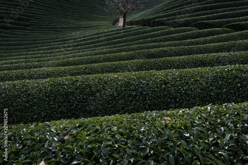 京都府和束町の茶畑