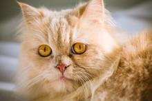 Close Up Yellow Persian Cat Of Yellow Hair And Yellow Eyes