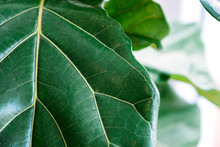 Closeup Image Of Fiddle Leaf F...