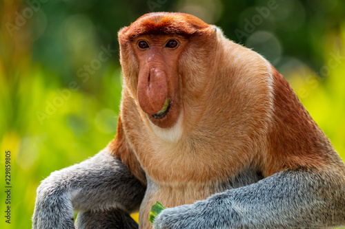 Fotografie, Obraz  Portrait of a wild Proboscis Monkey in the rainforest of Borneo