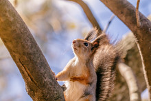 Portrait Of A Squirrel On A Tree In An Autumn Forest.