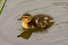 Side View Of A Mallard Duckling (anas Platyrhynchos) In The Water