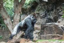 Animals, Wildlife And Zoo Concept - Gorilla Monkey , Silverback Gorilla In Nature