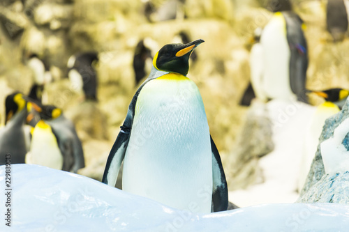 Foto op Canvas Pinguin Bird, wildlife and zoo concept - Emperor penguin at the zoo