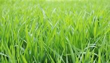 麦の葉 青葉 田舎 とちぎ