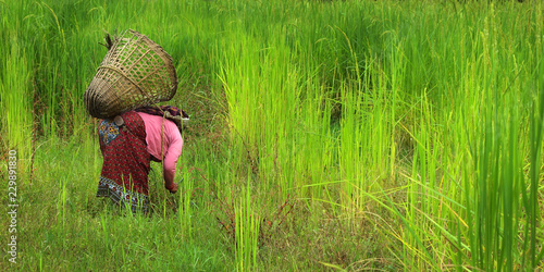Türaufkleber Pistazie Rice worker care his rice field