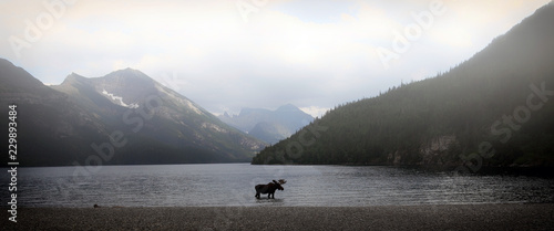 Photo Stands Canada moose in a mountain lake on a foggy day in alberta, canada