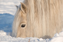 The Horses Of The Yakut Breed ...