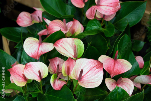 Photo Anthurium, rosa, antique, zweifarbig