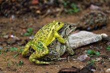 Frogs Mating Season