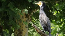 A Cormorant Stands On A Tree Branch, Squawking.