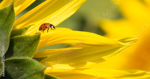 A red ladybird walking on yellow sunflower petals