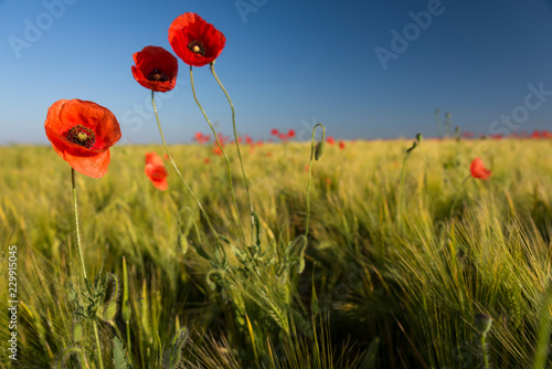 Beautiful red poppies in wheat field
