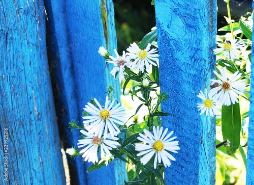 Fototapeta daisies on a blue background obraz na płótnie