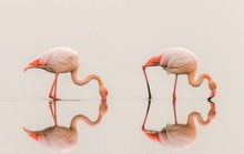 Greater Flamingos ( Phoenicopterus Ruber Roseus) With Reflection On The Surface, Walvis Bay, Namibia.