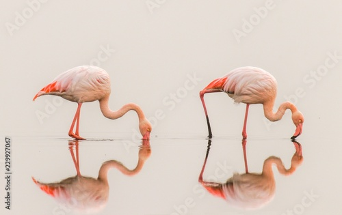 La pose en embrasure Flamingo Greater Flamingos ( Phoenicopterus ruber roseus) with reflection on the surface, Walvis bay, Namibia.