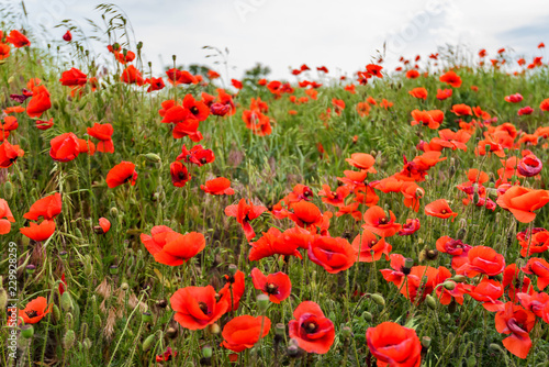 Poppy field with lots of beautiful red flowers