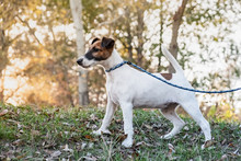 Adorable Smooth Fox Terrier Puppy On The Leash In A Park. Portrait Of A Young Fox Terrier Dog Standing On The Leash