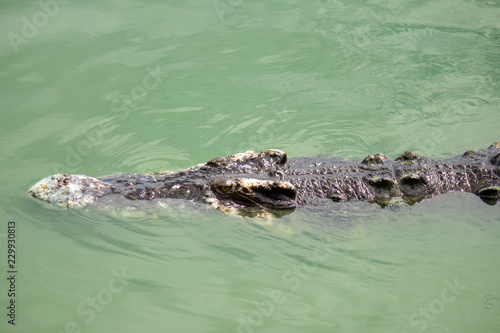 Deurstickers Krokodil Crocodile in the water, In Pattaya Crocodile Farm and Zoo, Thailand
