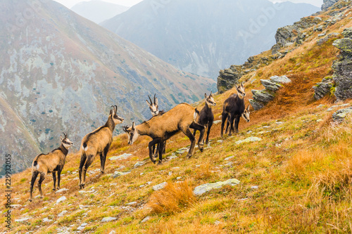 A herd of chamois on a grassy slope in autumn in the Tatras.