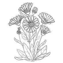 Vector Bunch With Outline Calendula Officinalis Or Pot Marigold, Bud, Leaf And Flower In Black Isolated On White Background. Contour Medicinal Plant Calendula For Herbal Design Or Coloring Book.