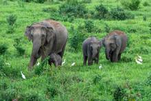 Asian Wild Elephant Kuiburi Na...