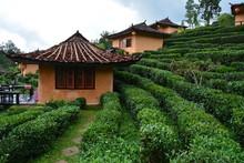 Plantation De Thé Thaïlande ...