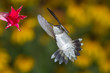 Ruby-throated Hummingbird male at flowers taken in central MN in the wild