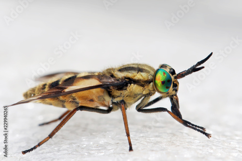 Horsefly  is a predator, actively attacking humans and animals.