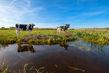 Curious Young Cows In A Polder...