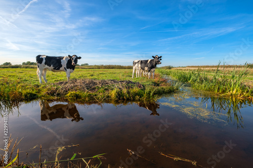 Fotografija Curious young cows in a polder landscape along a ditch, near Rotterdam, the Neth